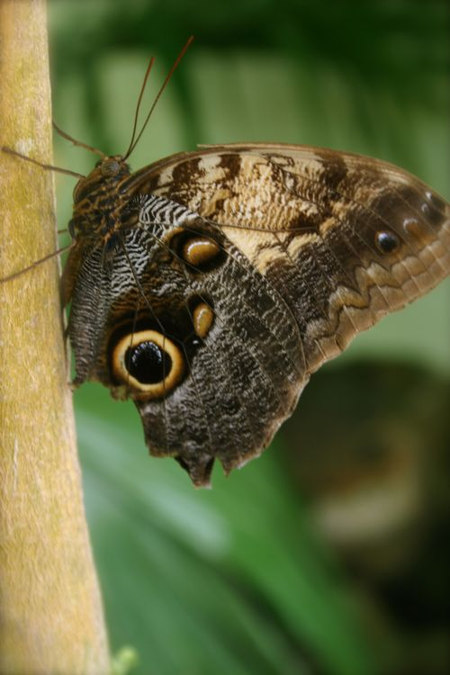 Owl butterfly SEPT