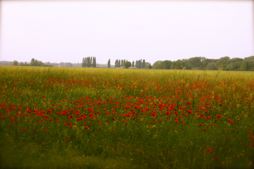 Red poppies on my run